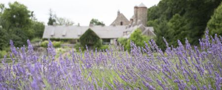 Lavender field with Stone Barns buildings