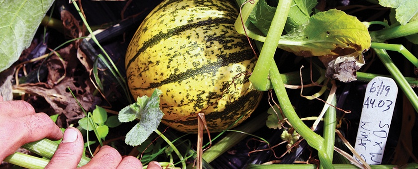 A Squash of a Different Color - Stone Barns Center