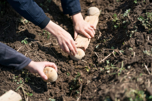 planting potatoes in soil