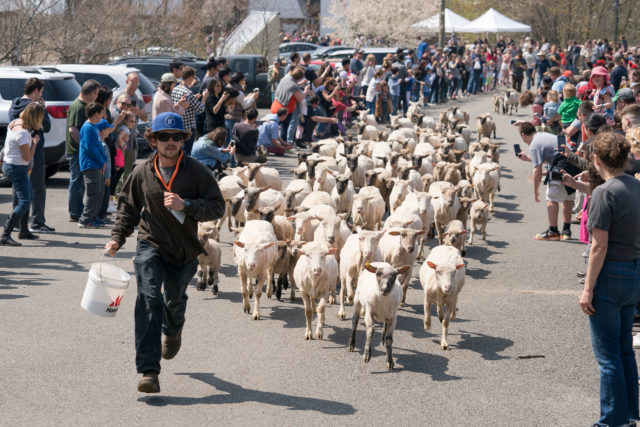 Sheep running on road between rows of people