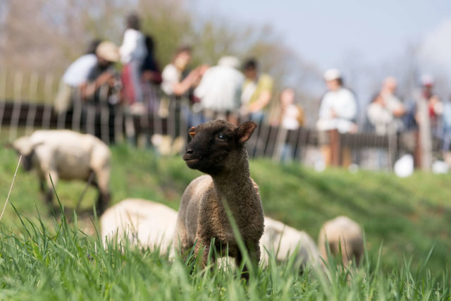 lamb grazing while people watch