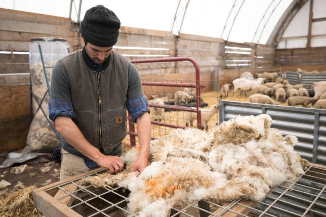 Apprentice sorting freshly shorn wool