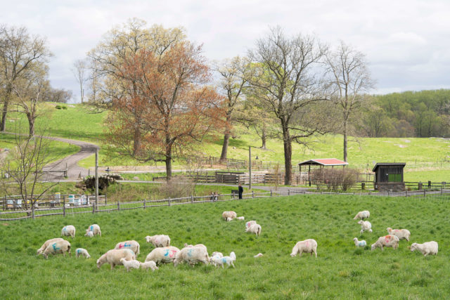 flock of sheep on spring pasture