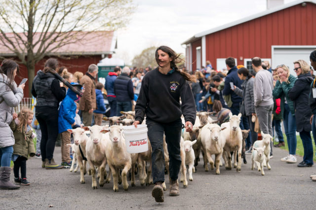 farmer leading sheep out of barnyard, with visitors